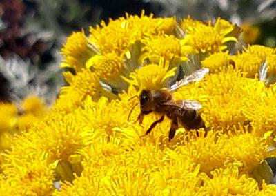 abeille-fleurjaune